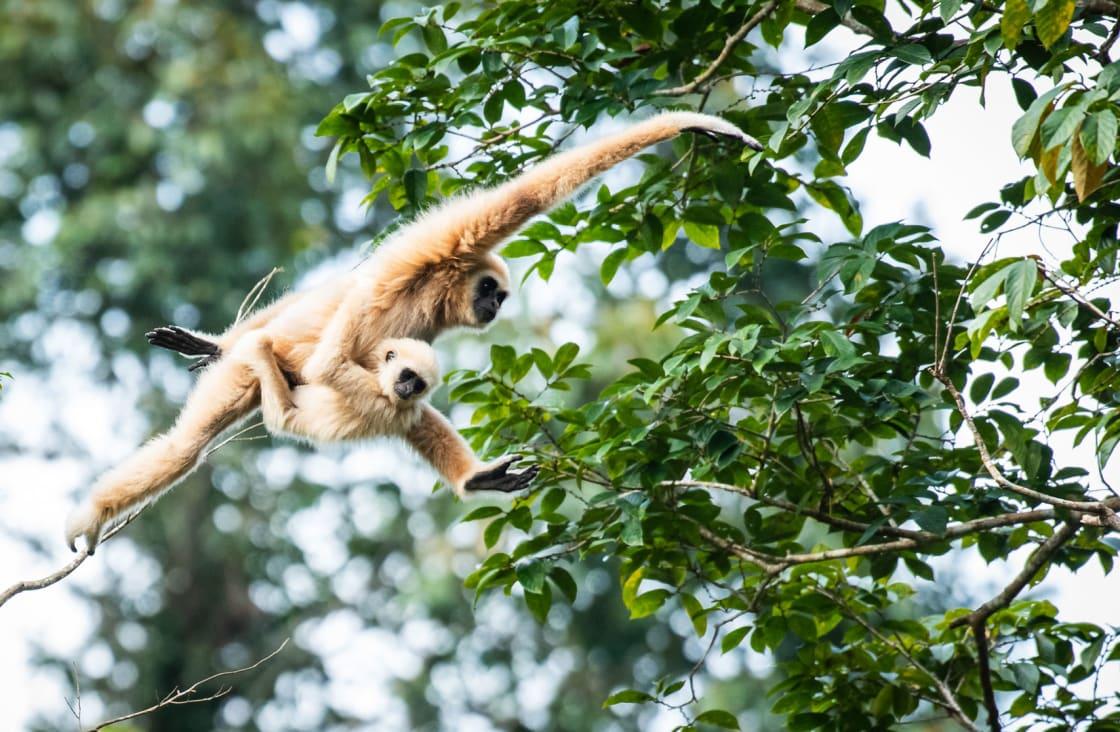 swinging bibbos at Southern Thailand's Khao Sok National Park