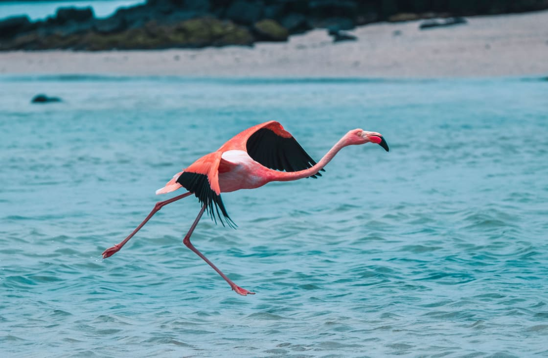 Flamingo Flying Galapagos