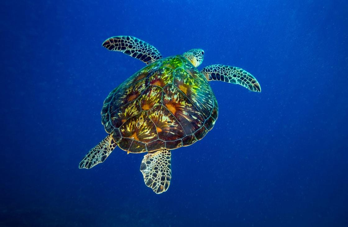 swimming turtle in belitung