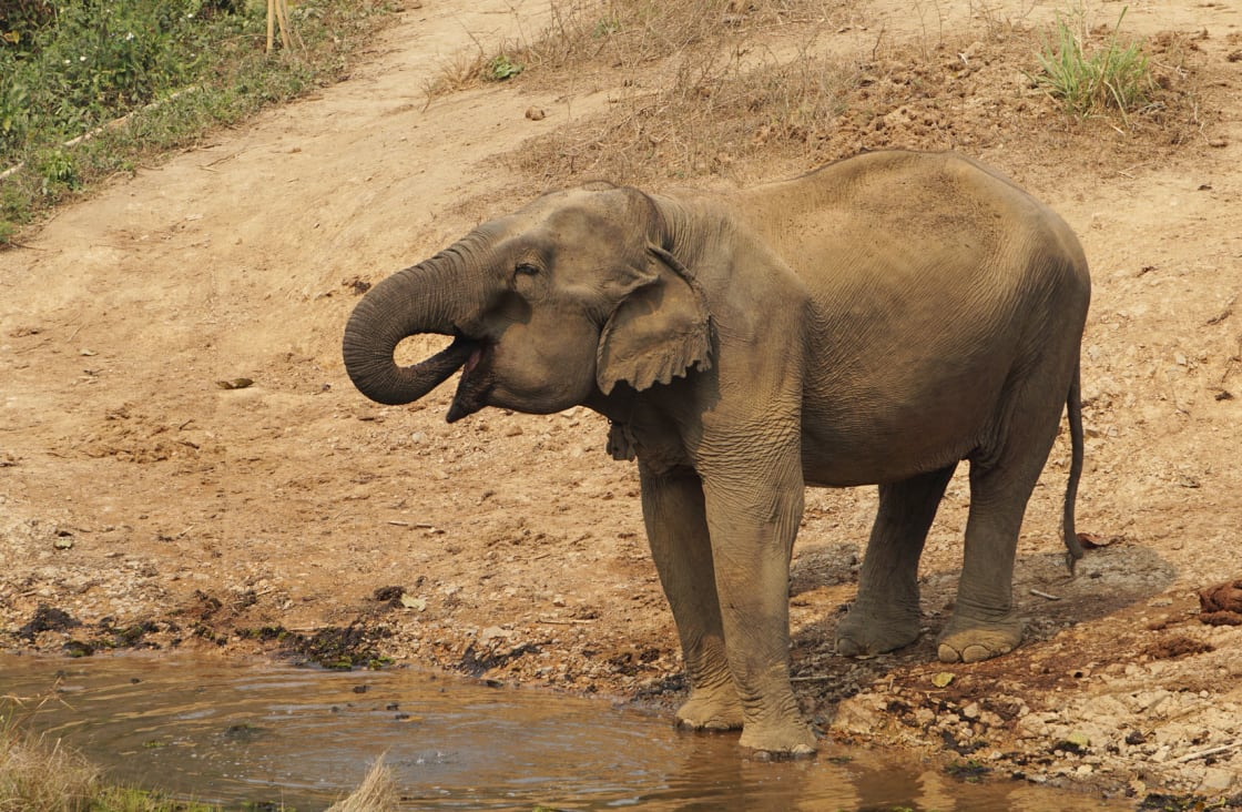 elephant walking in the dust