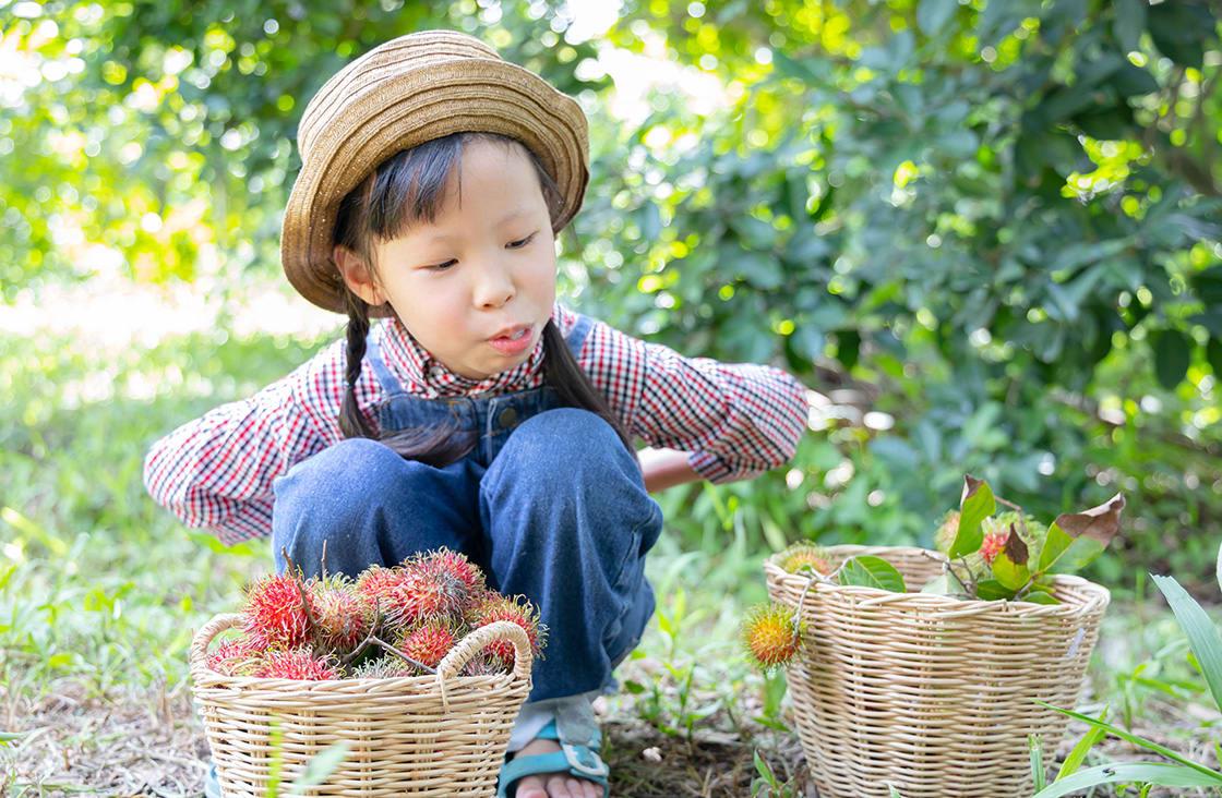 Asian,Children,In,Gardener,Costume,Harvest,Organic,Rambutan,Fruits,she,Eating