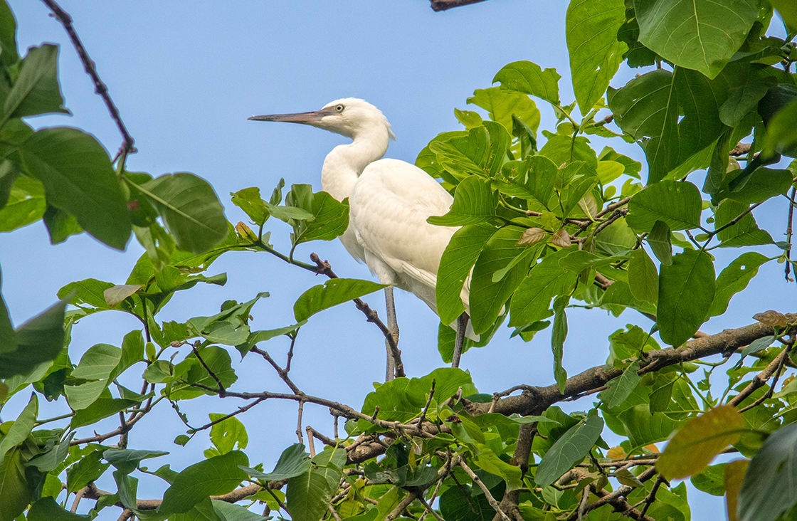 White,Stork,Up,On,A,Tree,In,The,Tra,Su bird sanctuary