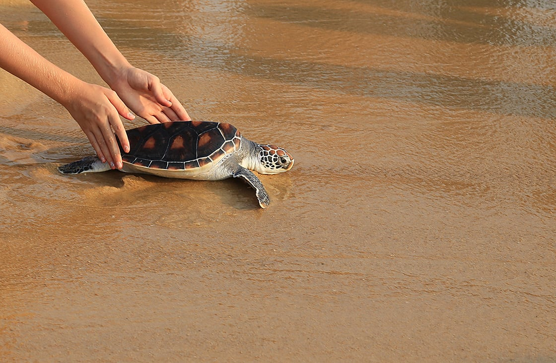 Sea,Turtle,Release
