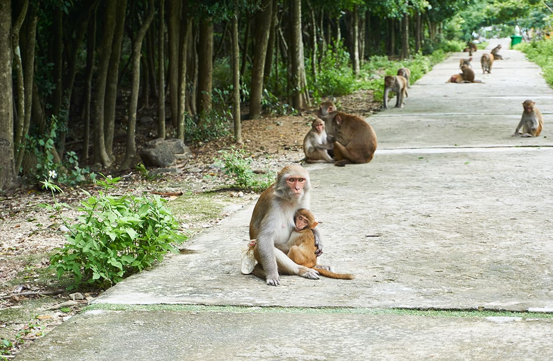 Mother,And,Baby,Monkey,Sitting,On,The,Road.,Monkey,Island,