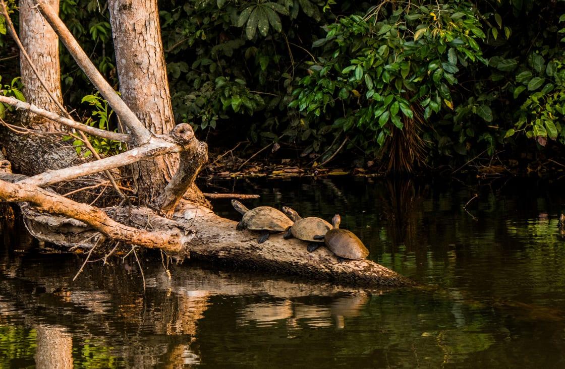 Taricaya Turtles In Amazon Lake