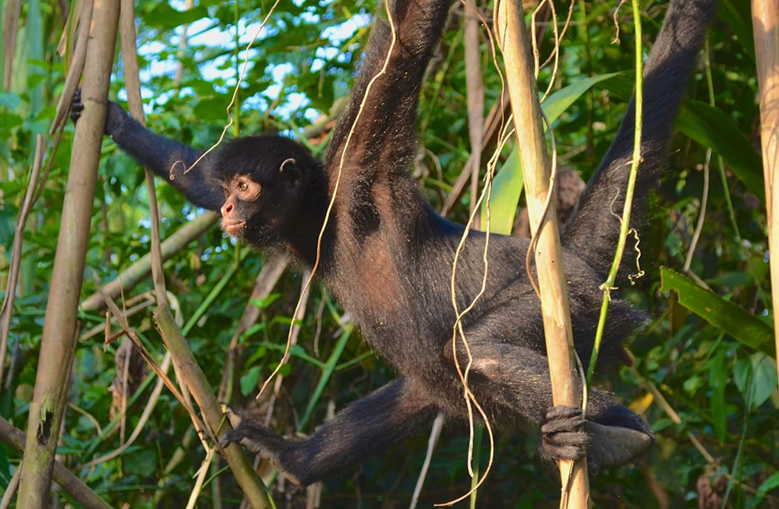 Spider,Monkey,In,The,Trees,Of,The,Amazon,Rainforest,,Madre
