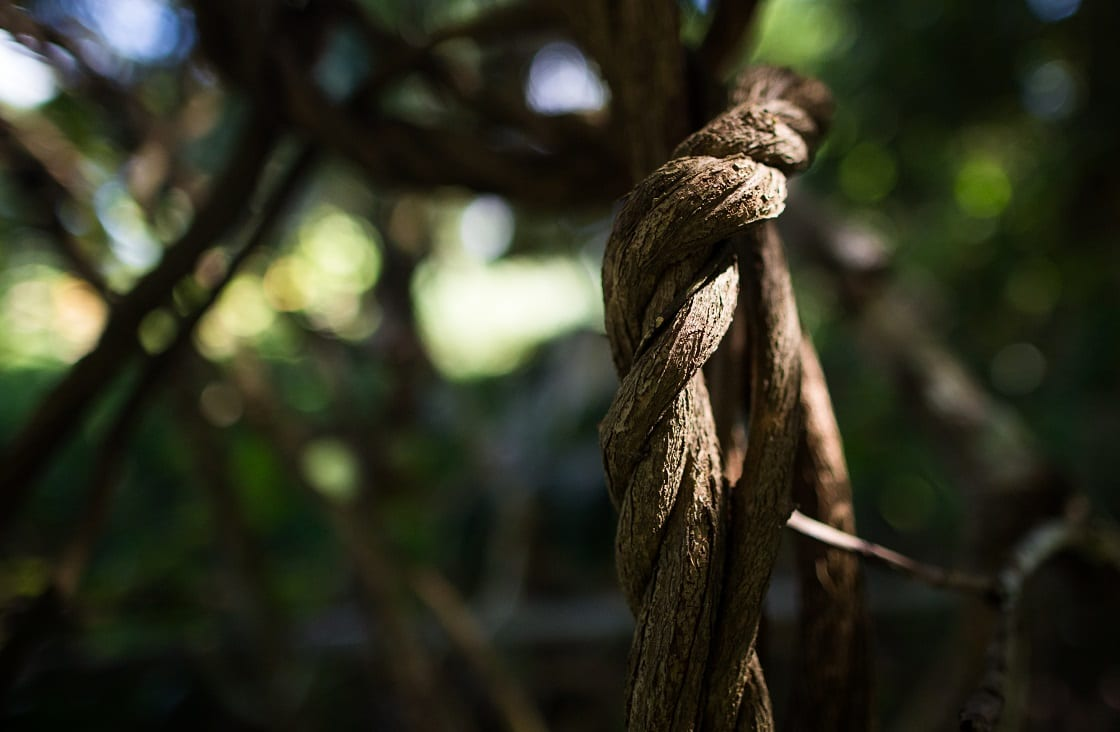 Liana,Ayahuasca,Growing,In,The,Jungle,,Close-up.,Sun,Rays,On