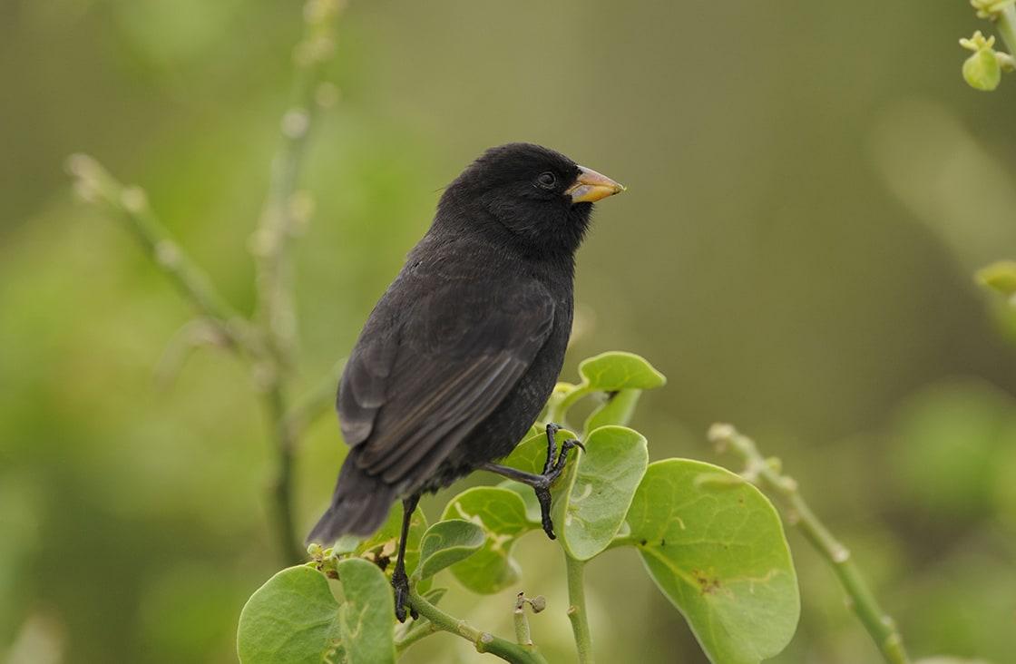 A,Darwin's,Finch,Or,Galapagos,Finch,(geospiza,Spp)