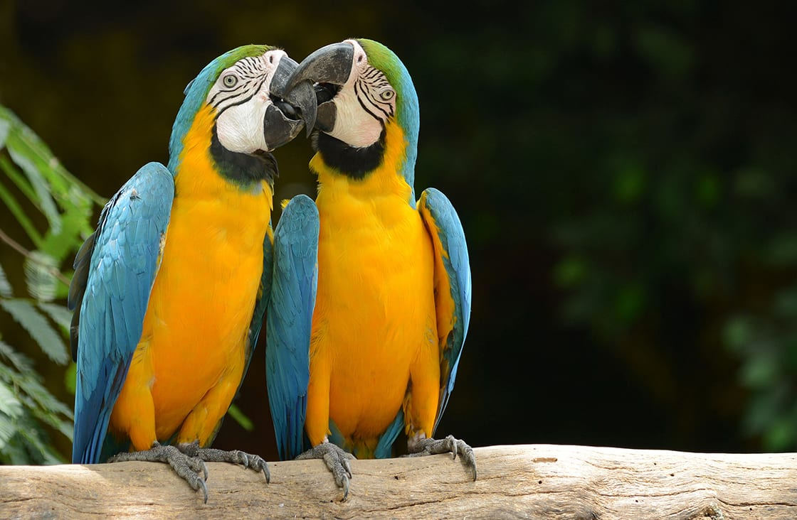 Couple,Of,Parrot,Yellow,And,Blue,Feather,Kiss