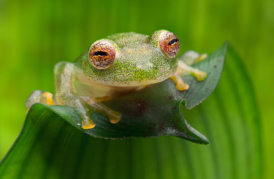 Tropical,Glass,Frog,From,Amazon,Rain,Forest,,Hyal