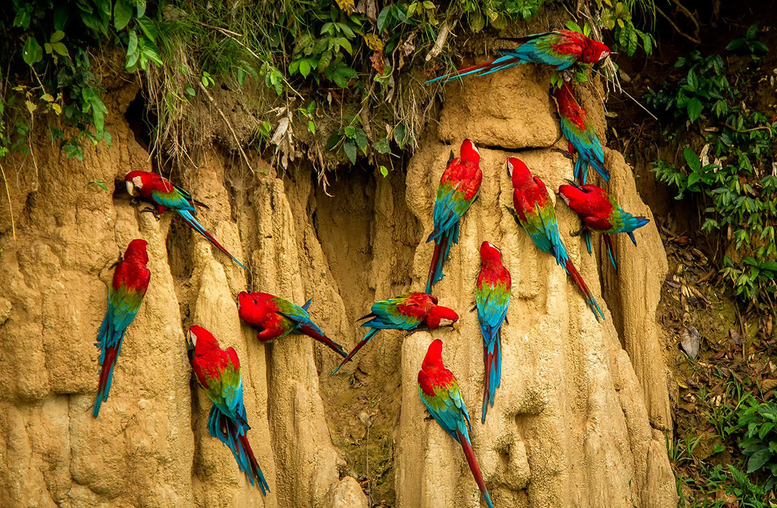 Red,Parrots,On,Clay,Lick,Eating,Minerals,,Red,And,Green