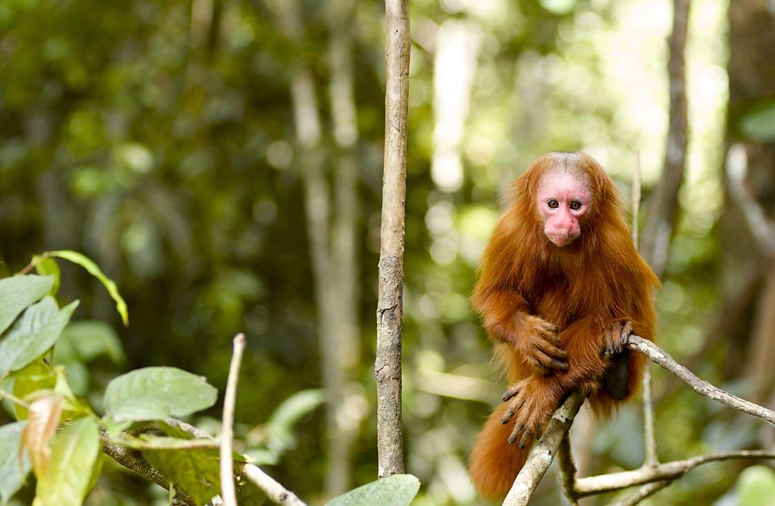 This,Monkey,Was,Seen,On,A,Tour,Through,The,Amazon