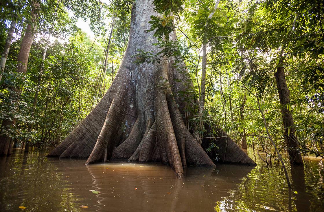 A,Sumauma,Tree,(ceiba,Pentandra),With,More,Than,40