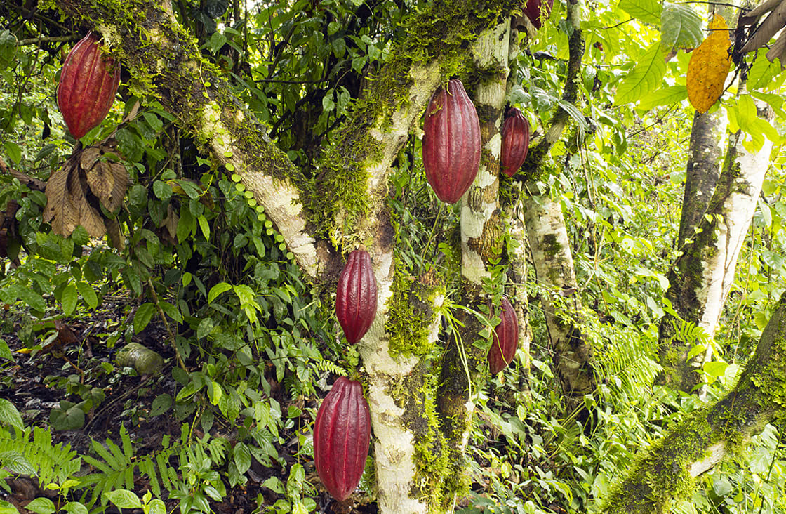 Cacao,Pods,(theobroma,Cacao).,This,Is,The,Hybrid,Ccn-51,Variety.