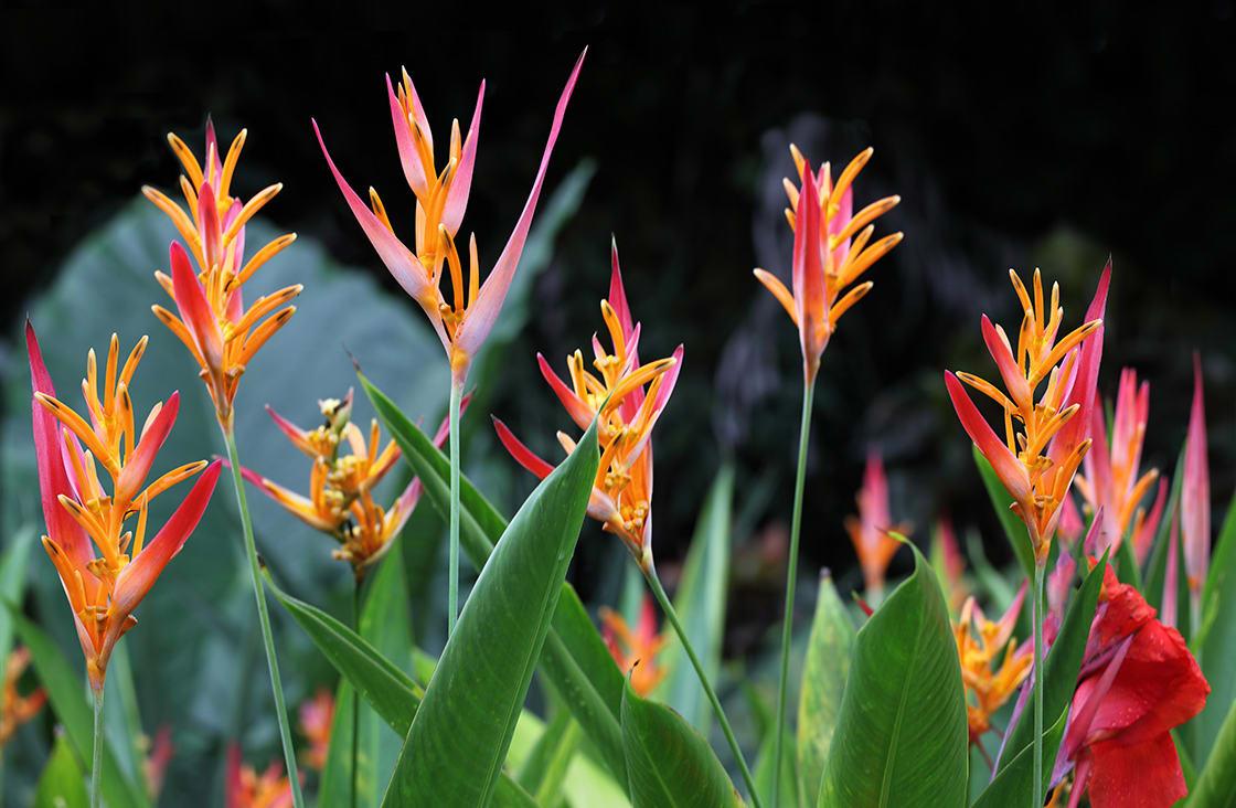 Heliconia,Psittacorum,Flower,Plant,In,Florida,Summer,Time