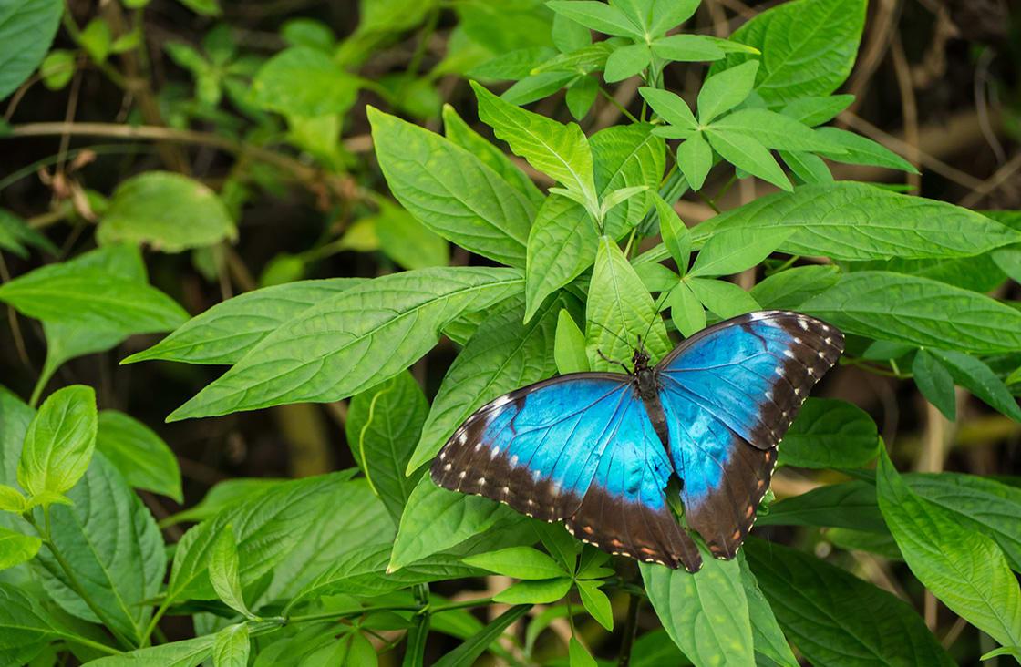 Blue,Morpho,,Morpho,Peleides,,Big,Butterfly,Sitting,On,Green,Leaves,