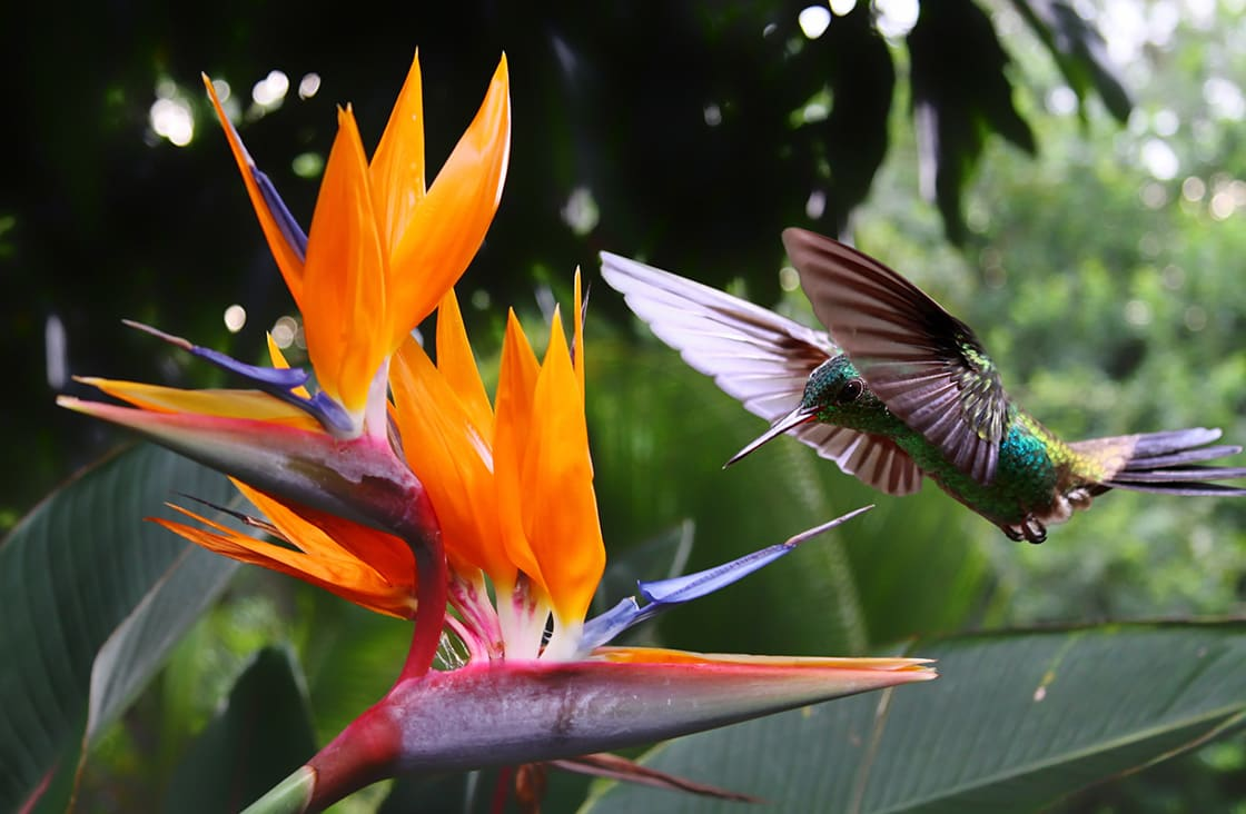 Flying,Hummingbird,At,A,Strelitzia,Flower