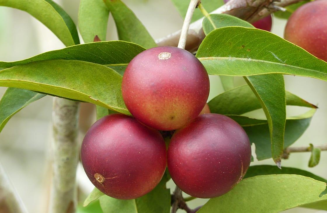 Camu,Camu,Fruit,(myrciaria,Dubia),On,The,Tree,,On,The