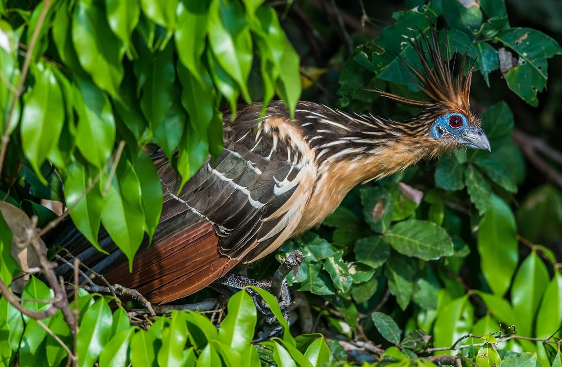 Shansho Bird Between Branches Peruvian Amazon Jungle Madre De Dios Peru