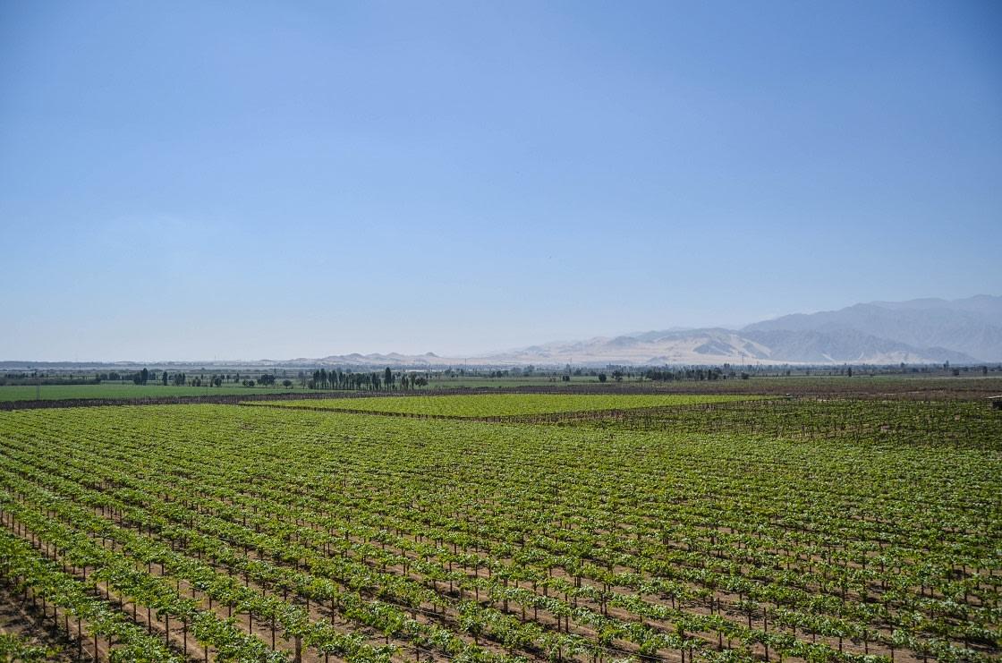Vineyard In Ica