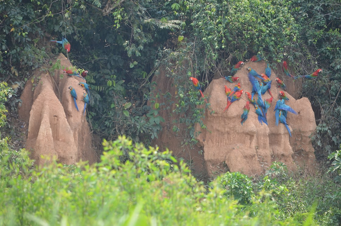 Macaws gather for feeding at the Chuncho Colpa clay licks in Tambopata National Reserve. Madre de Dios, Peru