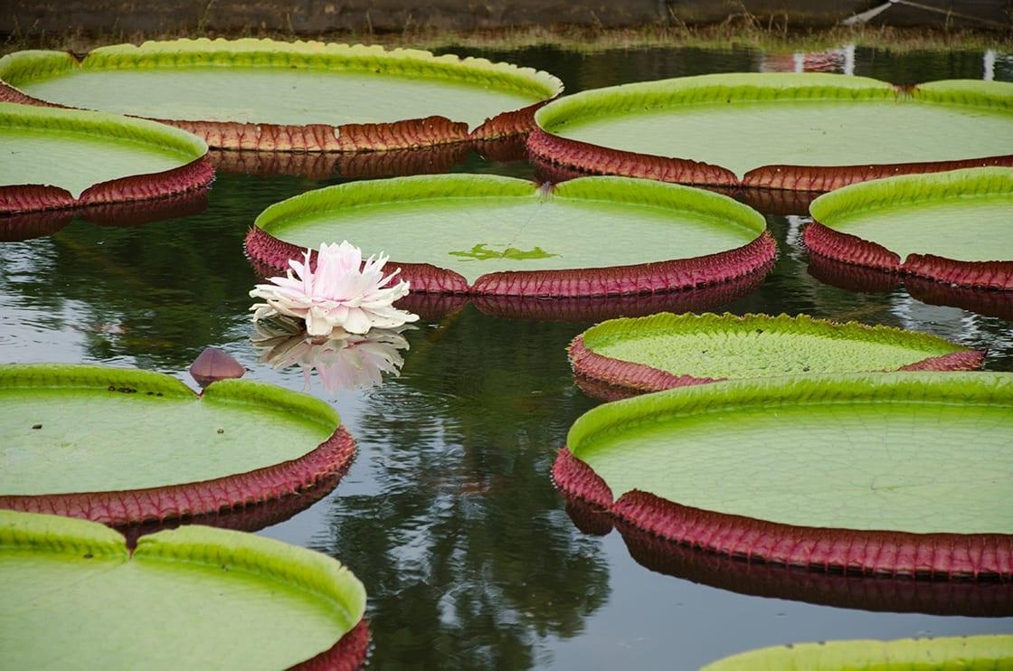 Victoria Regia (victoria Amazonica) In Lake Brazil