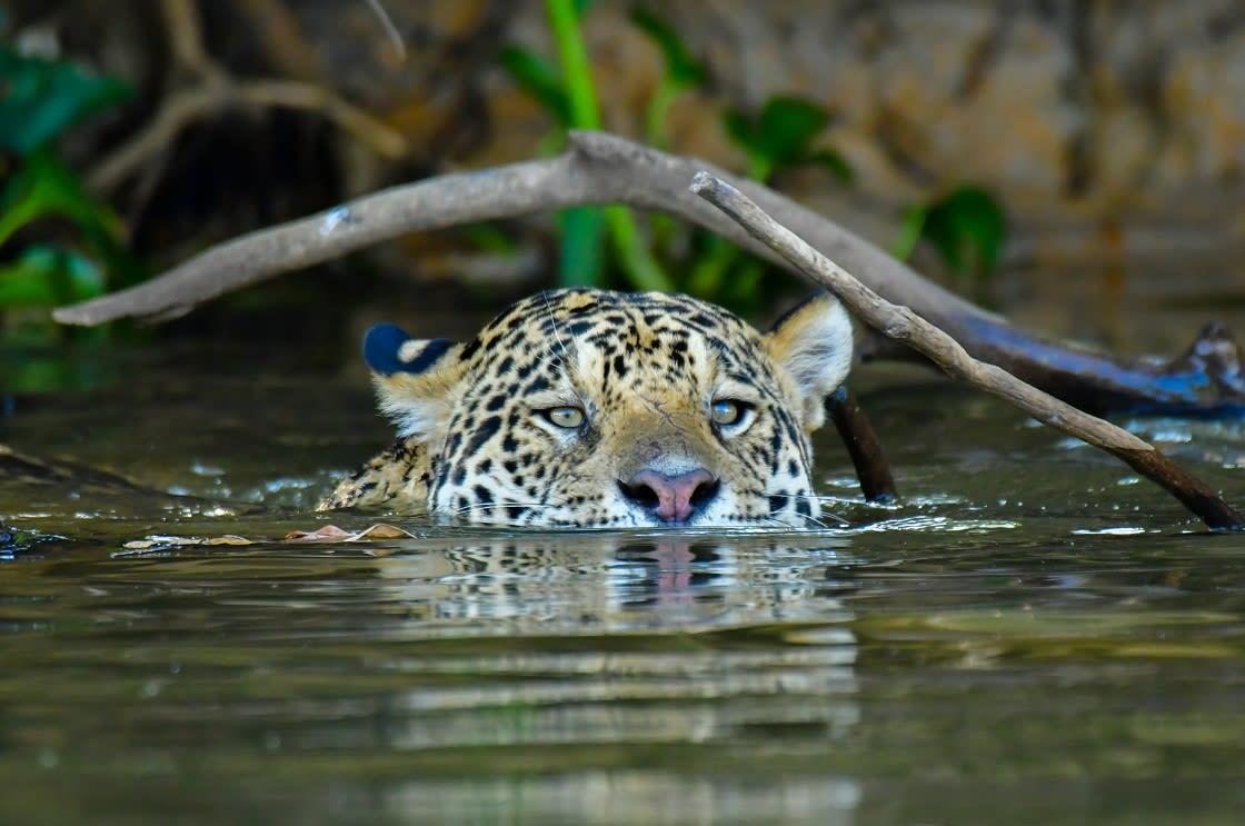 Pantanal's,Jaguar