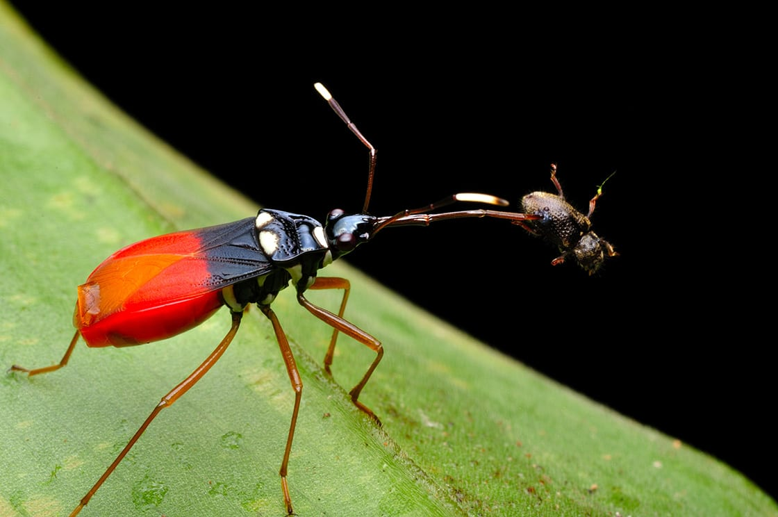 Red Assassin The Bug With The Prey
