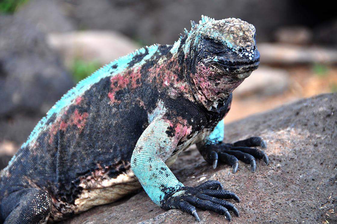 Marine Iguana, In Galápagos