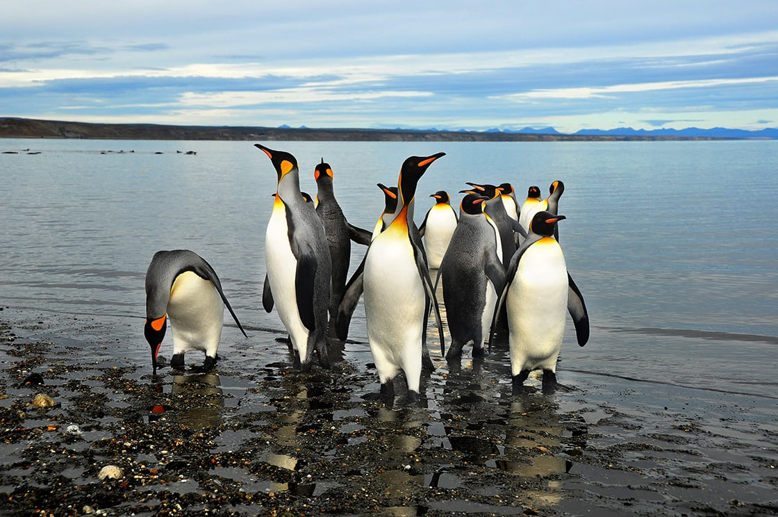 King Penguins On The Beach In Tierra Del Fuego