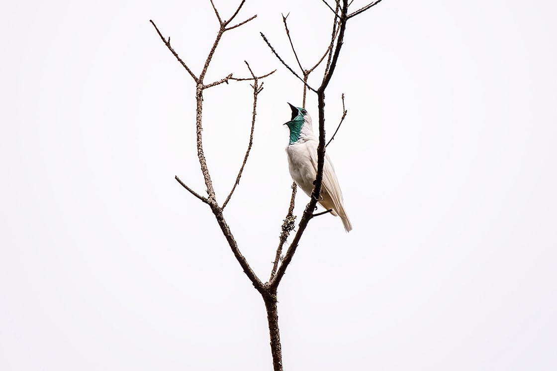 Bare Throated Bellbird It is found in moist subtropical and tropical forests in Argentina, Brazil, and Paraguay