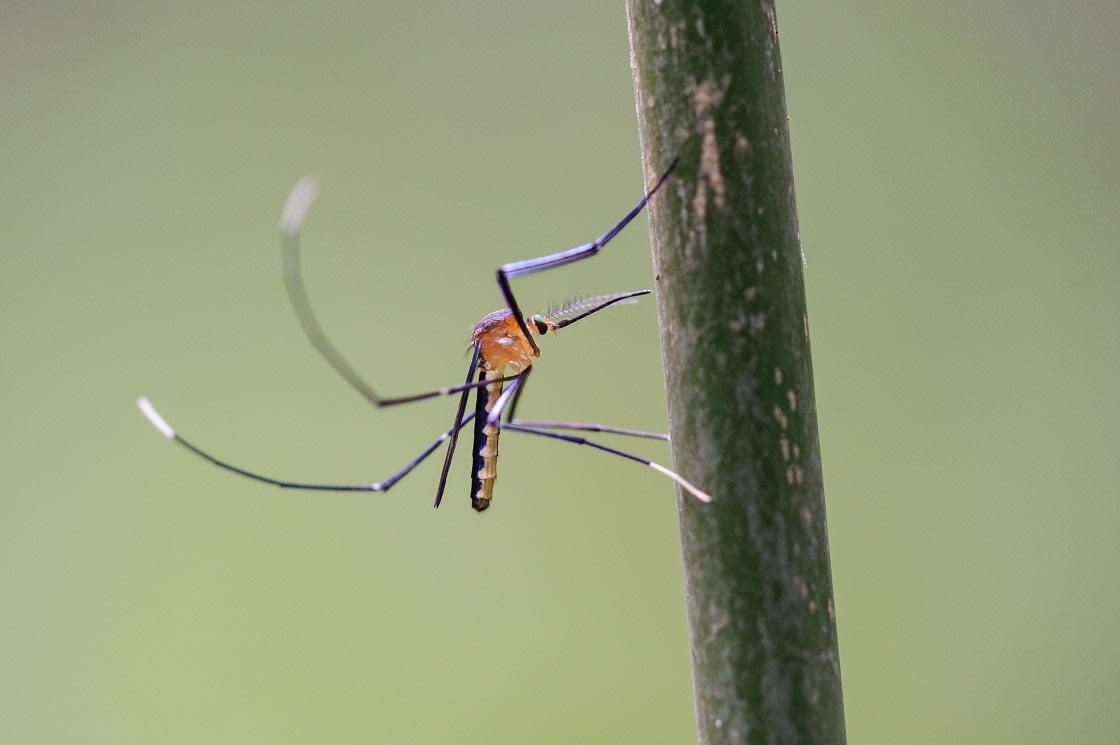 Mosquito In The Amazon Rainforest