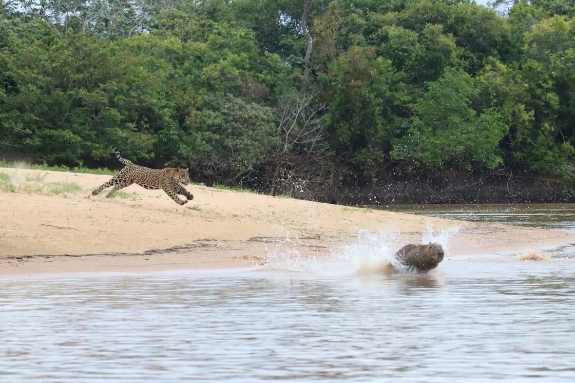 Jaguar Hunting Capybaras On The Riverbank Pantanal