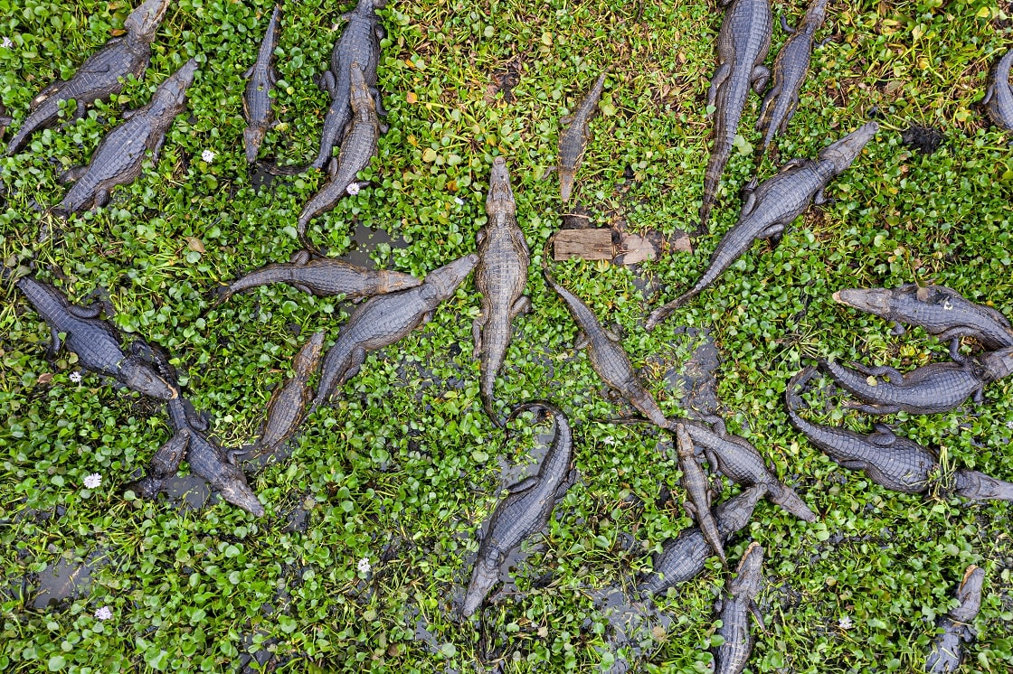 Aerial View Over Group Of Caimans In The Wild Pantanal