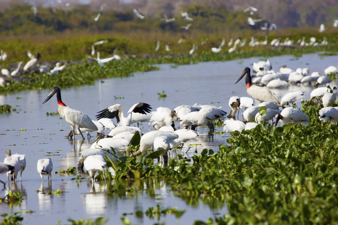 Birds Eating At Pantanal Pocone Mato Grosso Brazil