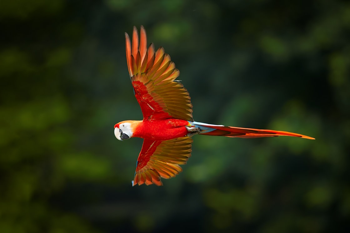 Scarlet Macaw FLying In The Reserve