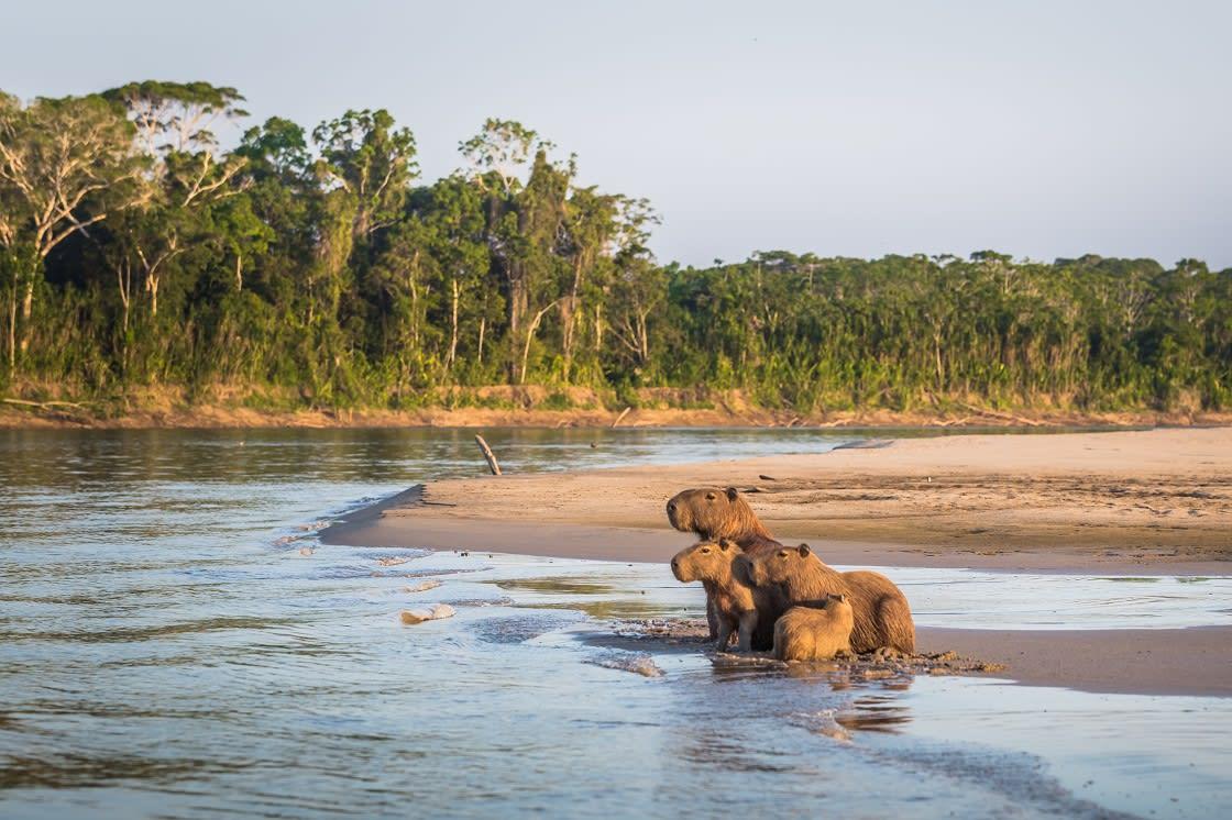 Family Of Capybara On The Amazon Rainforest