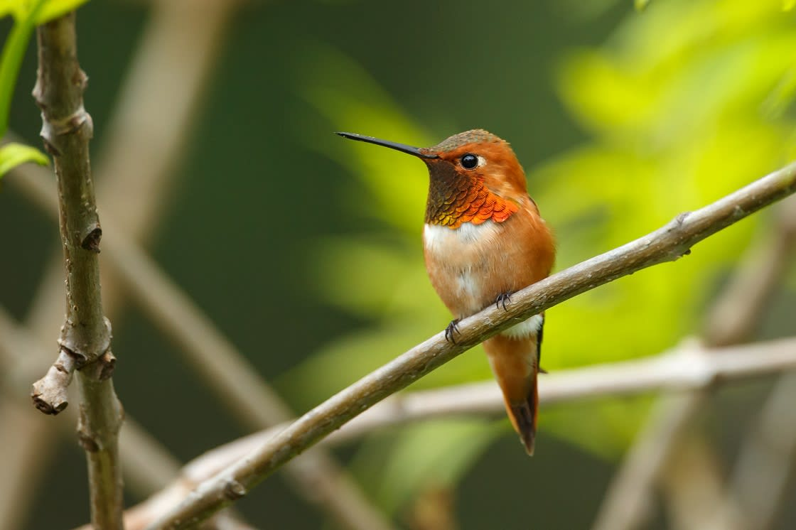 The Rufous Hummingbird