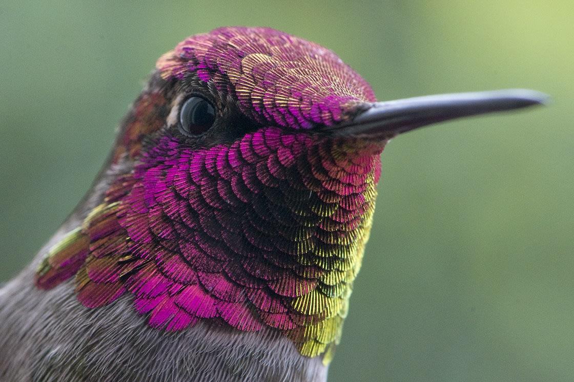 Male Hummingbird Have brilliant Colors