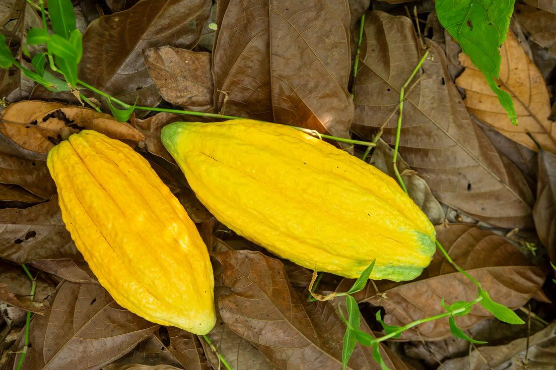 Fresh Cocao Fruit