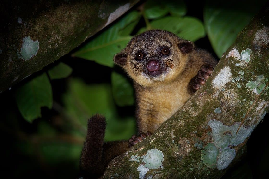 Kinkajou; Rainforest Mammal Of The Family Procyonidae