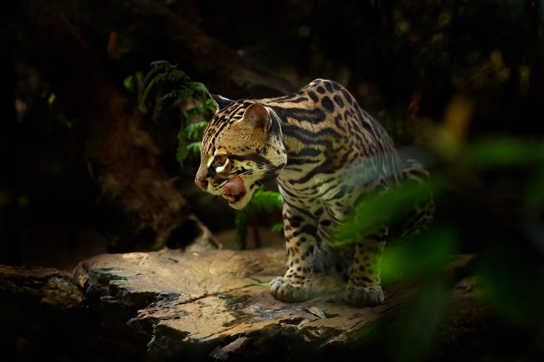 Margay, Nice Cat Sitting On A Branch