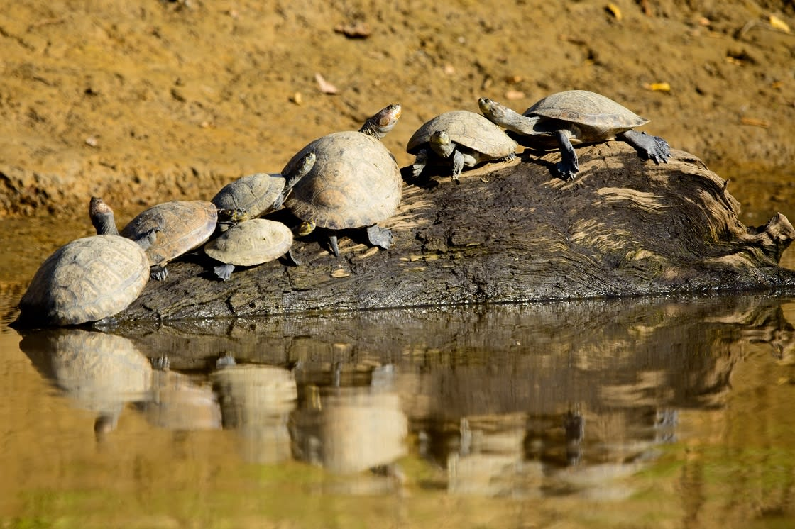 Group Of Yellow spotted River Turtles
