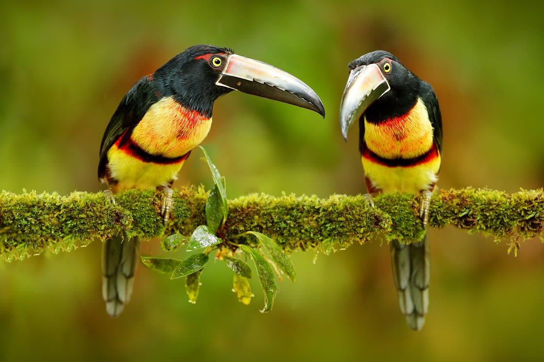 Two Small Toucan Collared Aracari Birds