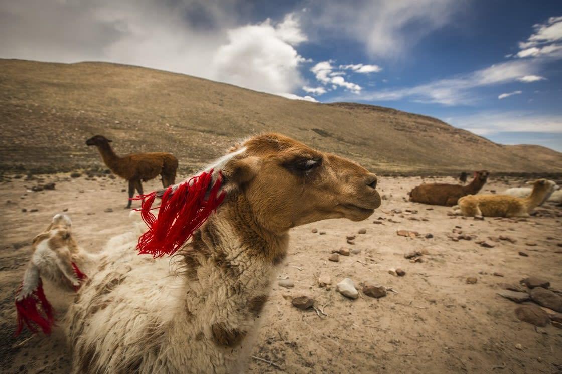 Llamas In Colca Area, Peru