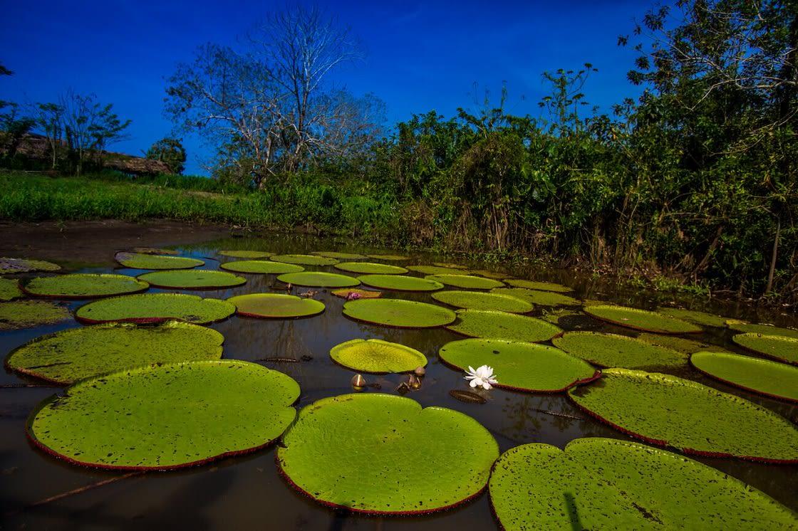 Lake Full Of Victoria Regias