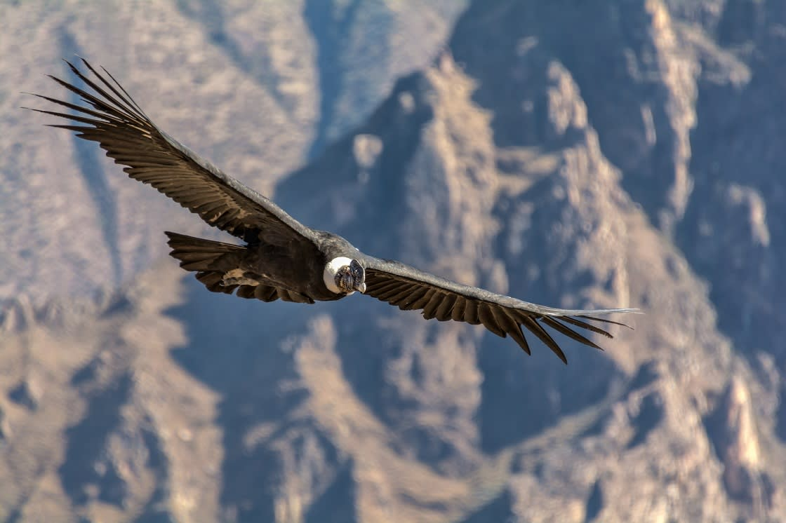 Andean Condor, One Of The Largest Flying Birds