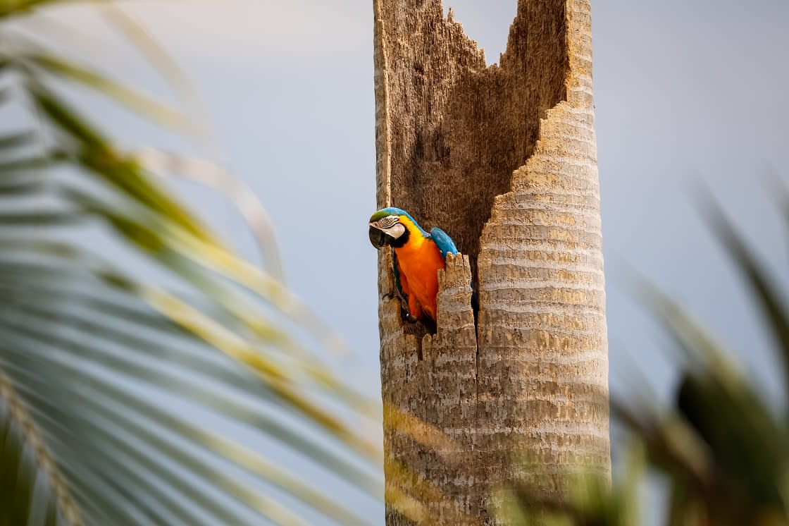 Blue-and-yellow Macaw sitting in a palm tree stump