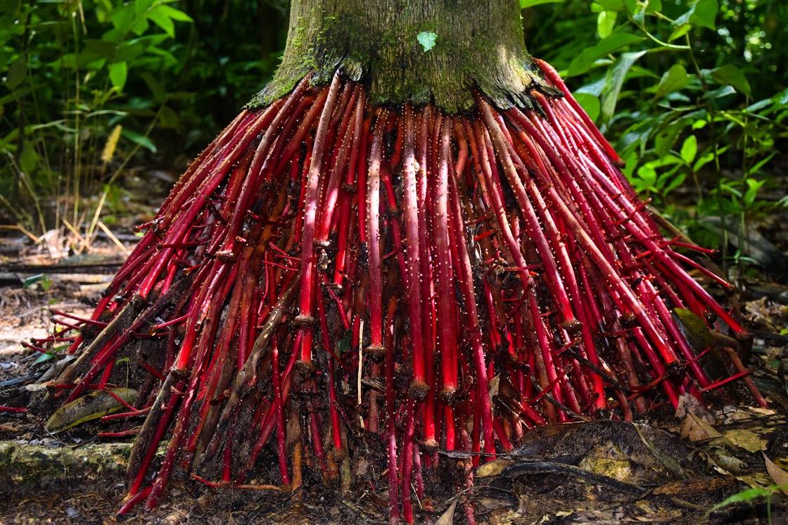 Wasai Root