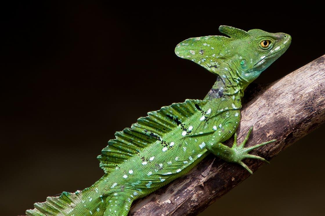 Jesus Crist Lizard Sitting On A Branch Above Water